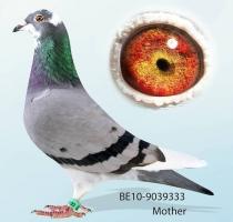 AMALIA - 1st Ace Pigeon Belgium 2011