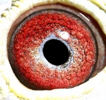 BLIKSEM 34's eye
